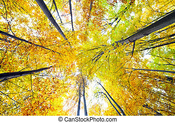 Canopy of trees - Colorful canopy of a forest with beech...