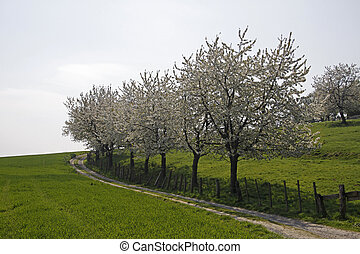 Cherry trees, Lower Saxony, Germany - Footpath with cherry...