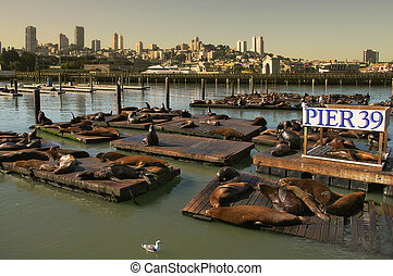 Seals on floating platform on Pier 39. - Seals resting on...