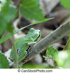 Hyla arborea, European tree frog - Photo of Hyla arborea,...