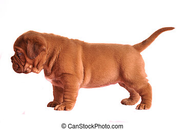 French Mastiff puppy standing, isolated on white