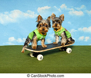 Yorkie Pups on a Skate Board - Two yorkshire terrier puppies...