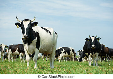 White black milch cow on green grass pasture - White milch...