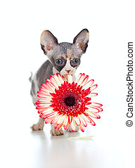 Canadian sphynx kitten with African daisy flower in her...