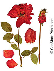 Dried roses - collection of dried roses for scrapbooking...
