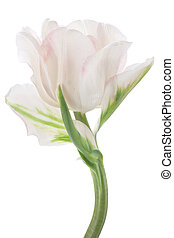 tulip - Studio Shot of White Colored Tulip Isolated on White...