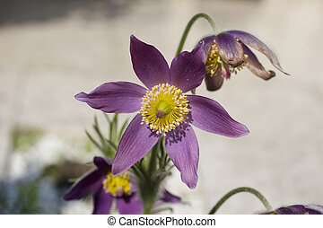 Pasque flower - Close up of a pasque flower
