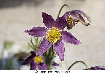 Pasque flower - Close up of a pasque flower
