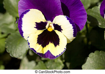 Pansy - Purple pansy flowers in the bed flower