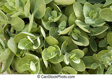 Succulent plant - Close up of nice Succulent plant