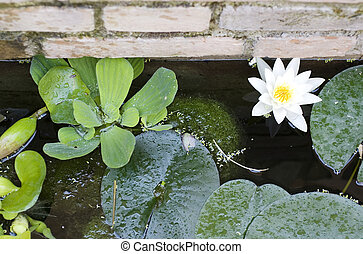 Nymphaea , Water Lilly