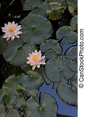 Nymphaea , Water Lilly - Photo of Nymphaea , Water Lilly