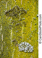 Lichen - Photo of Lichen on a tree