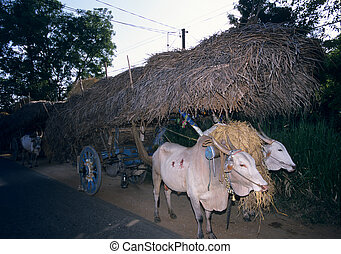Traditional cows trailor transporting hay, Sri Lanka