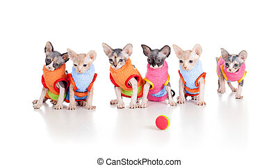 Six funny hairless kittens with ball brood of Canadian...