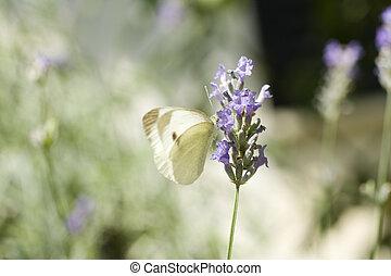 Butterfly on lavander flower - Photo of a butterfly on...
