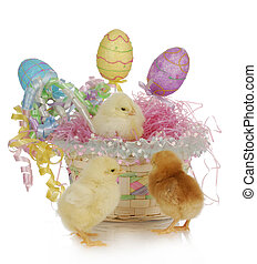 easter basket and chicks - adorable chicks in colorful...