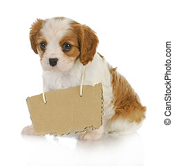 puppy with a message - cavalier king charles spaniel puppy...