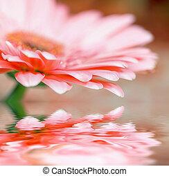 Closeup daisy - gerbera
