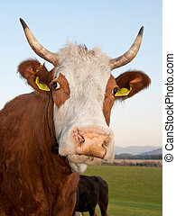 Cow - closeup portrait of horned cow head over green pasture...