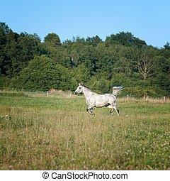 Running horse - Portrait of a running horse