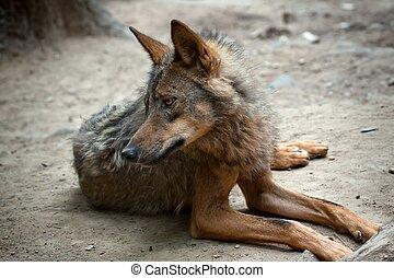 Wild Wolf - Lying wild wolf in the wild