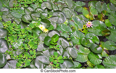 Pond with  a water lily