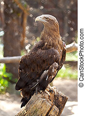 sea eagle sitting on wood trunk