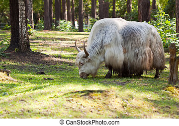 grunting ox against nature background