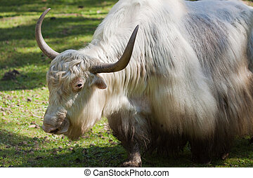 grunting ox against nature background - Close up of grunting...