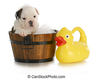 dog bath - english bulldog puppy sitting in tub with soap...