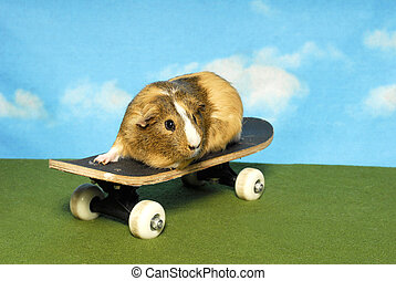 Guinea Pig on a Skate Board - A little brown guinea pig...