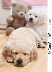 Funny small dog - Two beautiful golden retriever puppies