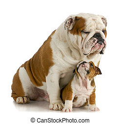 big and small dog - english bulldog father sitting with 8...