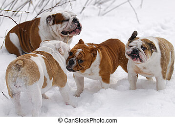 dogs playing - four english bulldogs playing with a stick in...