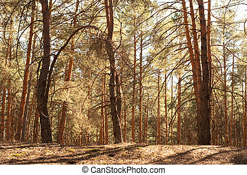 pine forest - beautiful pine forest in summer