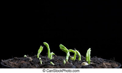 timelapse of seeds germination - timelapse of pea seeds...