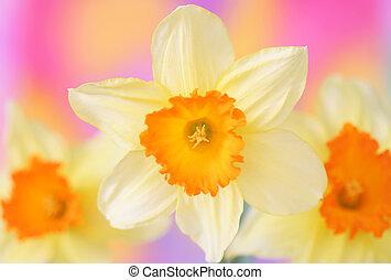 Daffodils - Close-up of Daffodils
