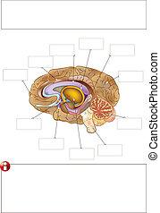 Basic CMYK - Human brain