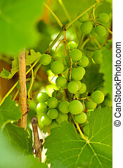 bunch of grapes with green leaves