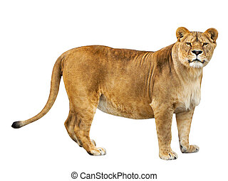 lioness isolated on a white background