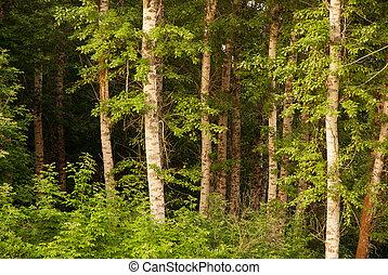 birch forest - beautiful birch forest in summer