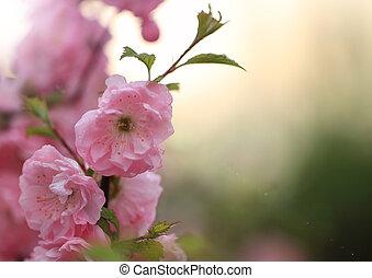 Spring blossom of pink sakura