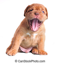 Dogue De Bordeaux puppy yawning - Dogue De Bordeaux puppy...