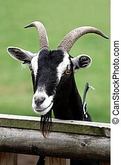 Billy Goat Portrait - Billy goat or male goat with long...