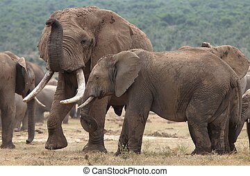 African Elephant Mates - Huge male African elephant...