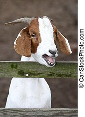 Bleating Goat Portrait - White and brown goat bleating at a...