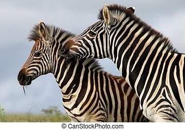 Zebra Bite - Burchells or plains zebras with one biting the...