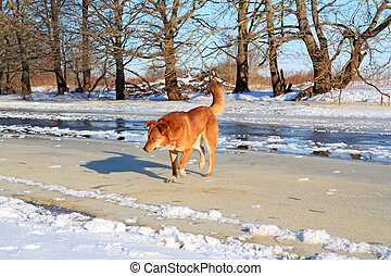 redhead dog on river ice