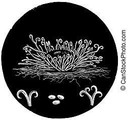 maple blight microscopic plant vintage illustration - Maple...
